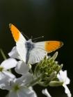Anthocharis cardamines (The Orange Tip)