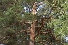 A large pine-tree