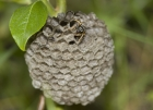 A wasp building its nest